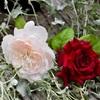 久し振りに薔薇