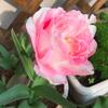 チューリップが咲きました