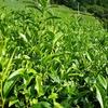 スクスク伸びた四番茶芽の畑とそうでない畑
