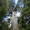 樹齢2500年のカウリツリー inニュージーランド