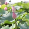 蓮の花 いつ咲くのでしょう・・・