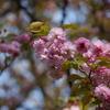 今週も続きます桜「菊桜」