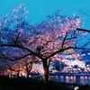 夜桜めぐり