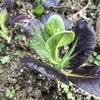 紫チンゲンサイの葉が緑に