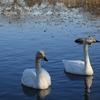池花池の白鳥が増えたわけ??