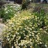 家庭菜園でハーブを育てています