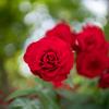 深みのある赤いバラ:あいやまガーデン