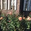 旧古河庭園の薔薇 2020秋