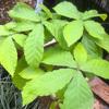 ドングリ実生 コナラの葉が大きい
