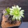 ビタミンカラーのサボ花