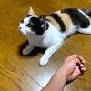 8月の没っちゃん【スコティッシュフォールド♀1才3ヵ月】家を一歩出たら弱肉強食だが室内猫も飼主も【むりをしないでなまけない ワタクシたちは弱いから】