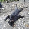 三重が2年前、滋賀に放したクマを岐阜で射殺