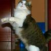 【猫画像】ノルウェージャンフォレストキャットのかわいい画像集