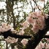 春のお伊勢参り旅行:伊勢神宮神苑で満開の桜を楽しむ