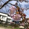 中筋にあります才ノ木神社に咲きます河津桜です。
