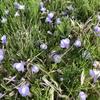 路傍に咲く小さな小さな花の野草です。