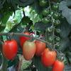 18day:トマトの収穫始まりました