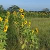 ラボ4畑のヒマワリ