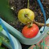 野菜の収穫他