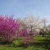 京都の桜(その2)