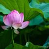 今年も町田薬師池でハスを撮影してきました