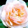 美しい薔薇(イングリッシュローズ)を鑑賞!<さっぽろ百合が原公園>