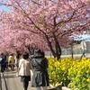 神奈川県三浦市の河津桜です