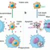 ERマーカーのcalreticulinが細胞表面にあると、マクロファージの貪食のマーカーになる? (Nature Communications 2018年8月10日号掲載論文)