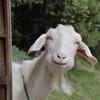 「さーちゃんミニヤギ牧場」で動物とふれあう!癒される!【岡山県新見市】