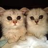 緊急!里親募集【チンチラペルシャ猫約10匹】※決定致しました!