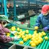 熊本)「ジューシーオレンジ」味わって 天草で出荷