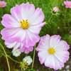 何年ぶりかで、コスモスウォッチングに行ってきました♡コスモスって、いろんな花びらの形...