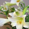 聖書の植物(6)ー「ゆりの花」