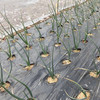 10番畝のたまねぎの除草