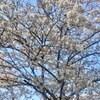 今が旬!!この時期限定!!満開の桜を宮崎で♡~天ヶ城公園~