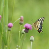 翅の模様が美しいキアゲハ蝶を撮る