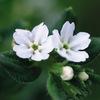 今日の誕生花「ムラサキ」高貴な紫色の染料、万葉の幻の花!