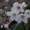 森の工房AMAのサクラが咲いた