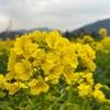 笠岡ベイファーム【岡山県笠岡市】黄色一面の菜の花畑は圧巻!