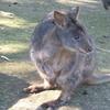 タスマニア 一味違うオーストラリア とにかく可愛いパディメロン