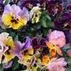 【庭】冬に植えた花