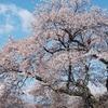 お花見の桜と木材としての桜
