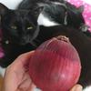 紫玉ねぎの栄養と保存方法♪辛いときは?