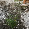 【広い空地を有効活用する】庭造りへの道~モミジとシマトネリコとミモザ~