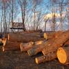 中高生のコテージ作りに大木をいただきました!