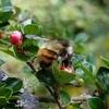 コトネアスター、クインスとヤマボウシの花