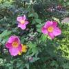 シュウメイギクが咲いた
