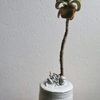 大雀蜂鉢 X「仙女の舞」