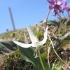 白いカタクリの花に会いに 東根山へ