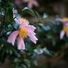 小石川後楽園の山茶花
